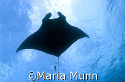 Pacific Manta Ray taken in the Socorro Islands with a Can... by Maria Munn 